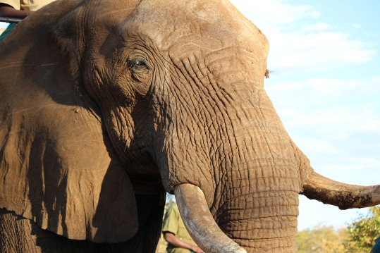 african-elephant-close-up-2