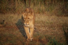 african-lion-female