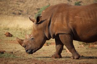 rhino-bull