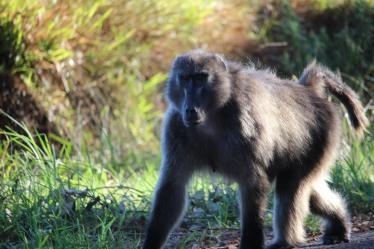 southafrica_roadside_baboon2