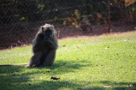 vfalls_baboons1