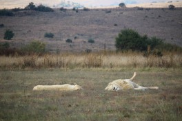 white-lions-m-and-f-sleeping